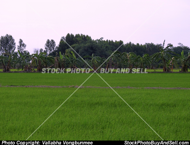 Stock photo - rice fields
