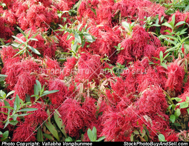 Stock photo - Celosia