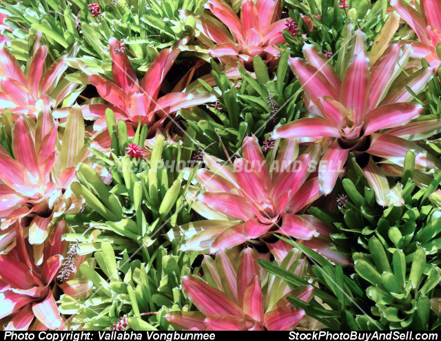 Stock photo - Bromeliad