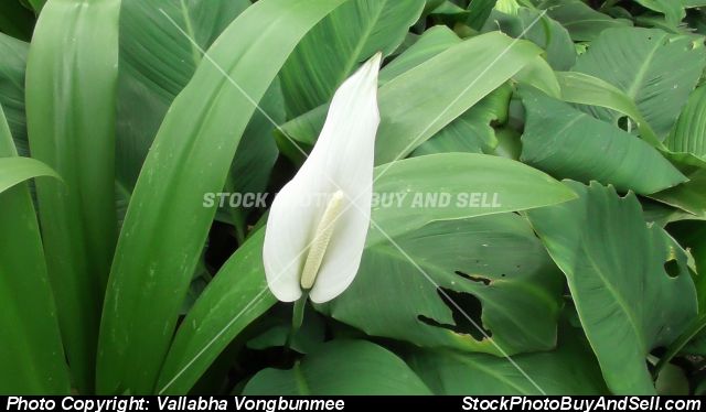 Stock photo - Anthurium flowers