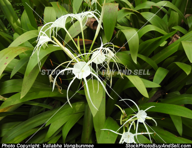 Stock photo - Spider Lily