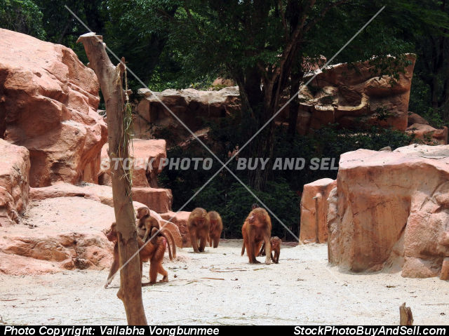 Stock photo - Baboon monkeys