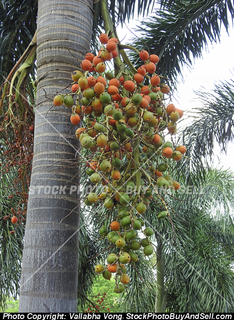 Stock photo - one kind of palm fruit
