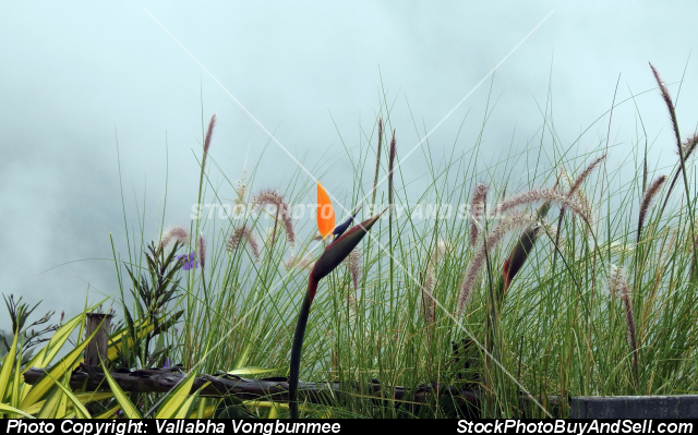 Stock photo - Bird-of-paradise flower