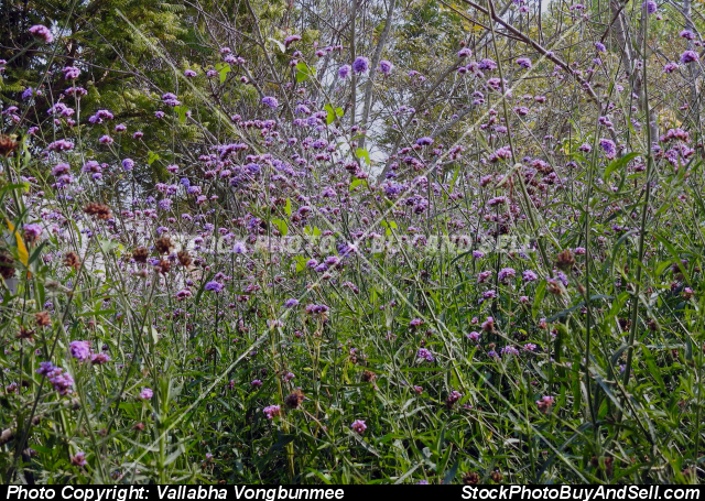 Stock photo - verbena