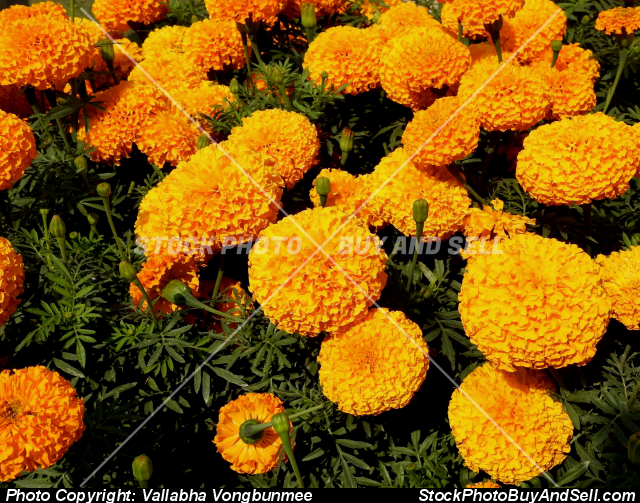 Stock photo - Tagetes erecta