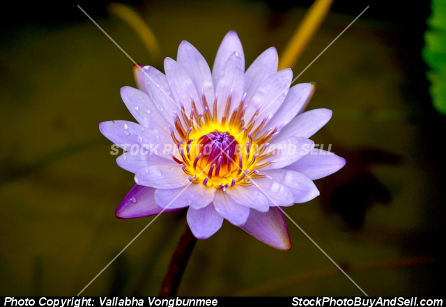 Stock photo - lotus