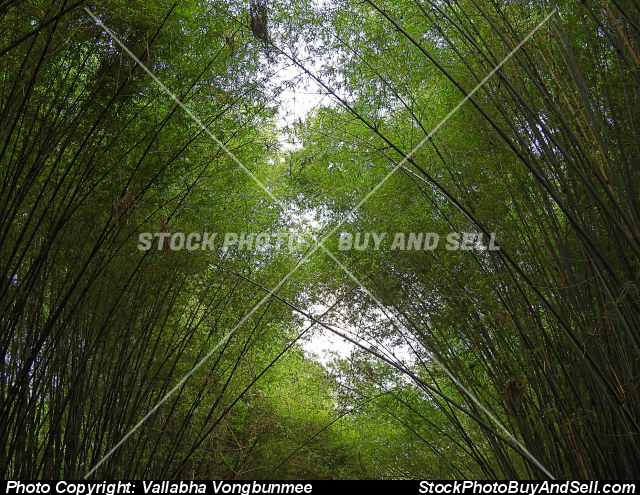 Stock photo - bamboo tree