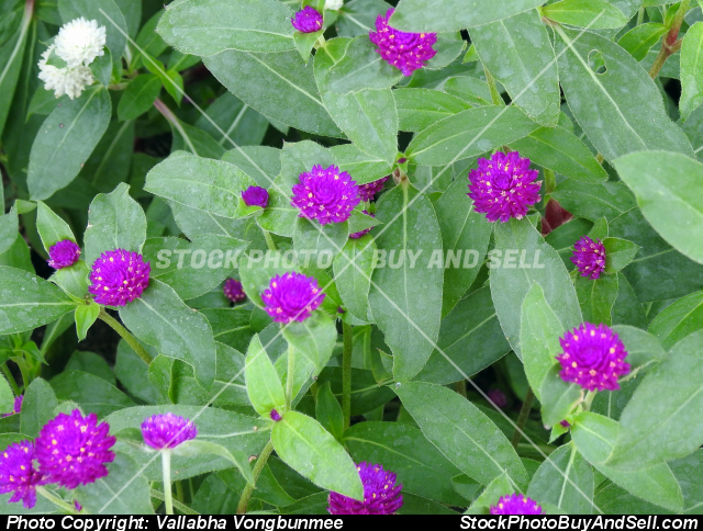Stock photo - Amaranth flower