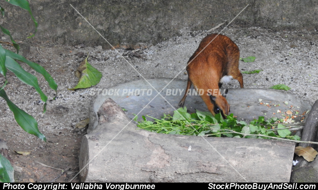 Stock photo - Greater Mousedeer