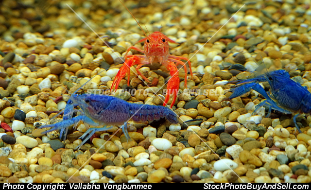 Stock photo - Crayfish