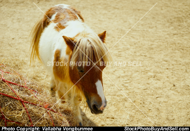Stock photo - Dwarf horse