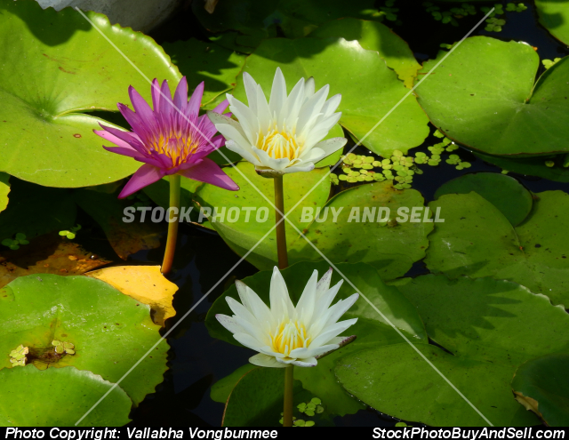 Stock photo - Lotus flower