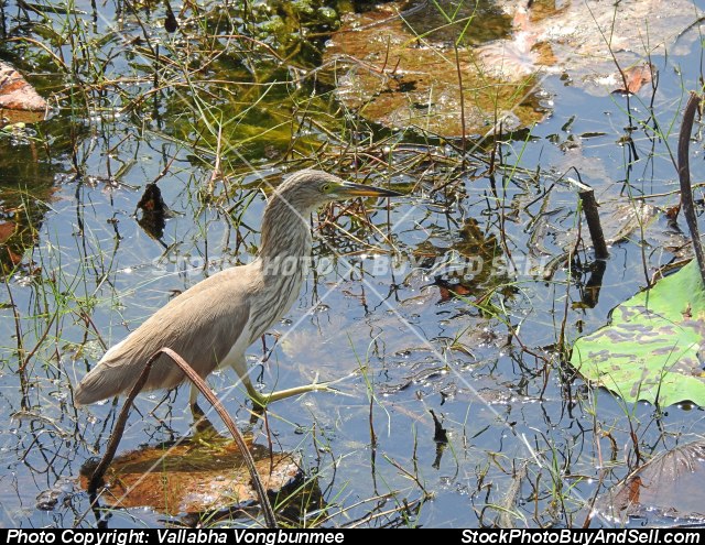 Stock photo - stork in lotus pond