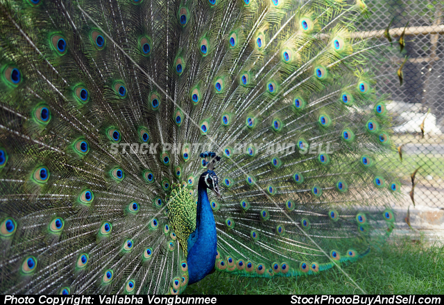 Stock photo - peacock