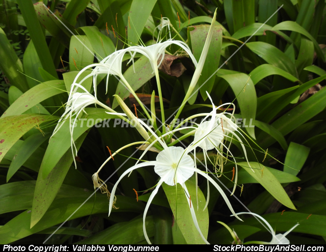 Stock photo - Crinum Asiaticum