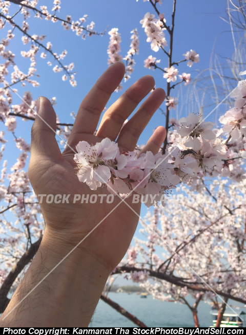 Stock photo - sakura flower with hand
