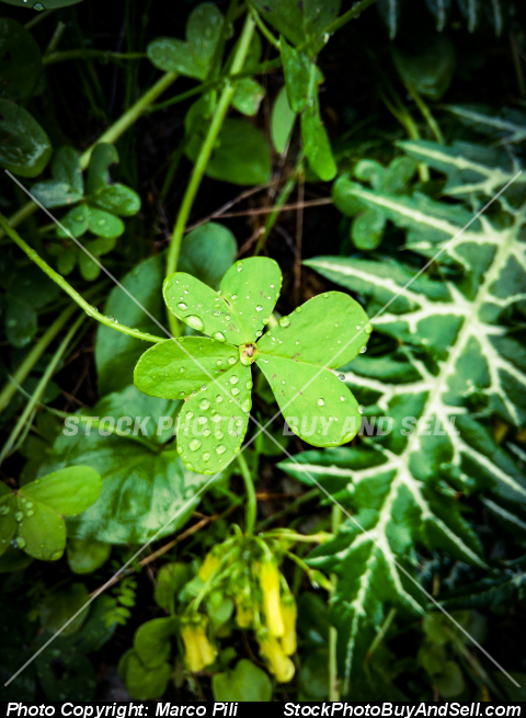 Stock photo - Clover with dew drops
