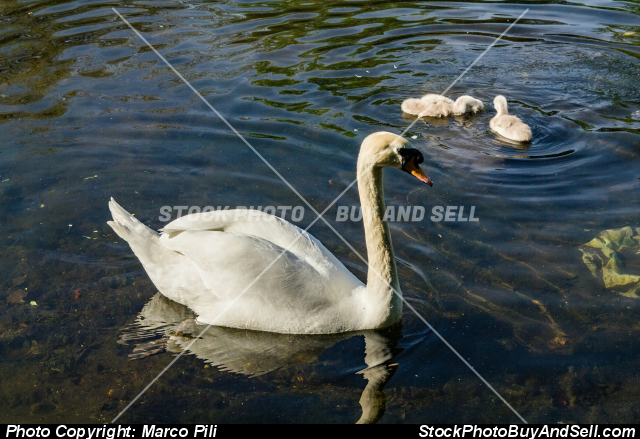 Stock photo - female of white swan with her chicks in a small lake