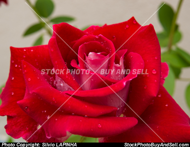 Closeup of a red rose flower with blurred leaves background.