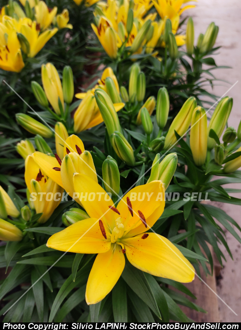 Close-up of yellow Asian lily flowers Lilium Hybrid.