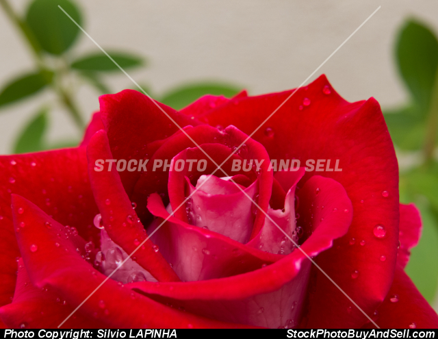 Closeup of a red rose flower with blurred background.