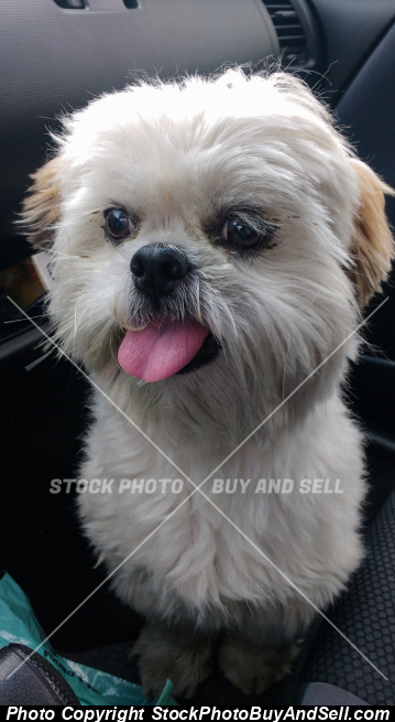 White furry shih tzu dog with tongue out.