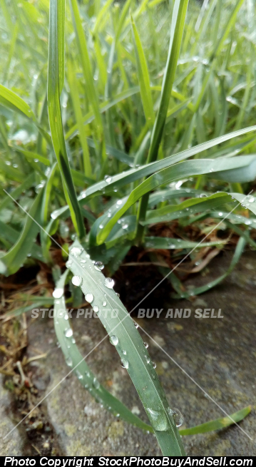 Stock photo - Grass and drops