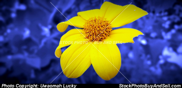 Stock photo - Sunflower in a beautiful environ